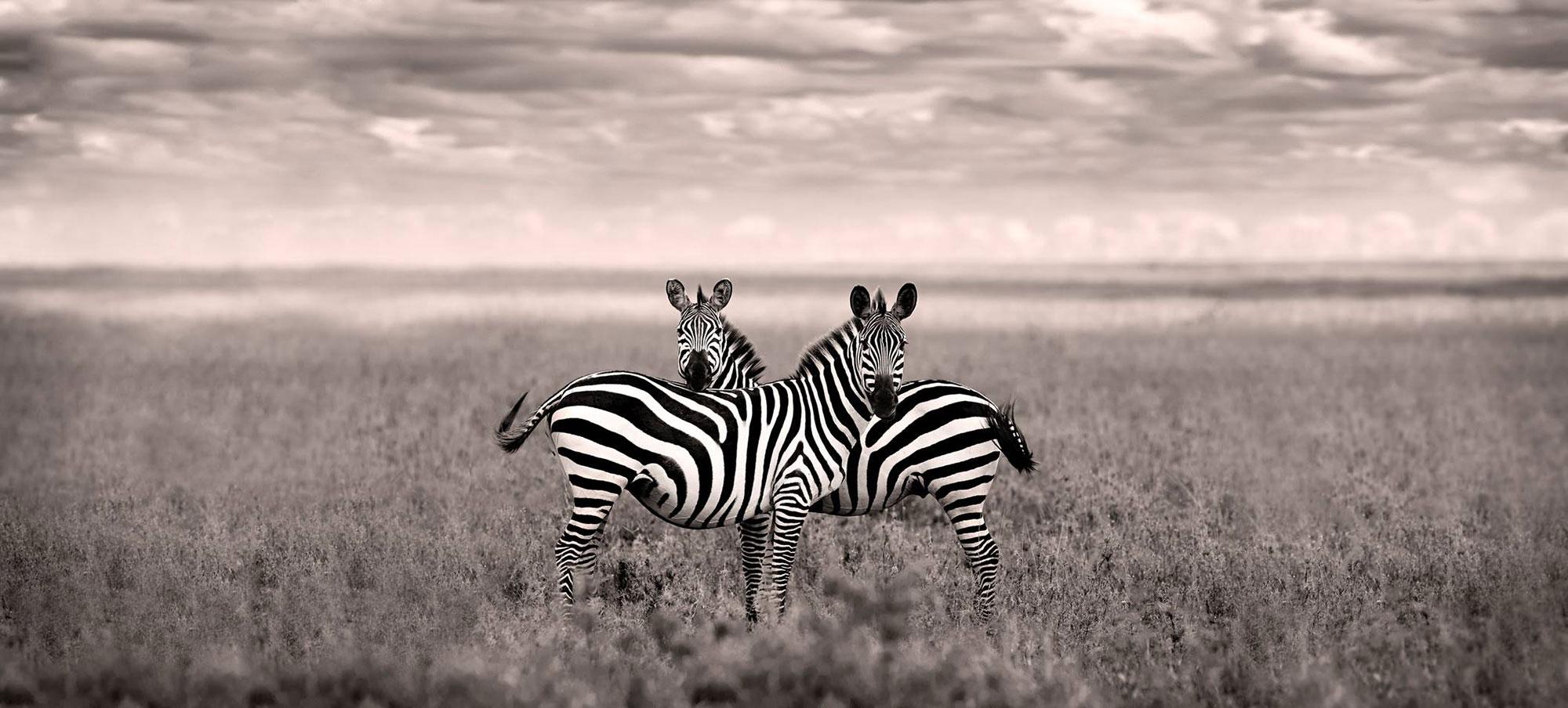 Venera Zebras